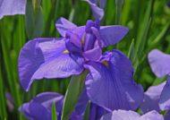 چگونگی تکثیر گل زنبق در خانه