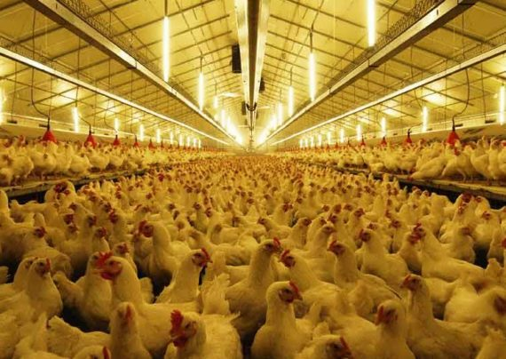 مرغ های گوشتی مرغداری ها و دفن مرغ های بالای 3 کیلو