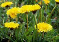 آشنایی با چگونگی کاشت گل قاصدک
