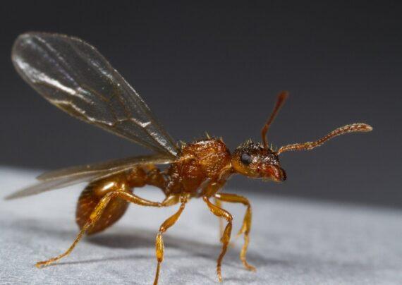 روش هاس از بین بردن مورچه بالدار