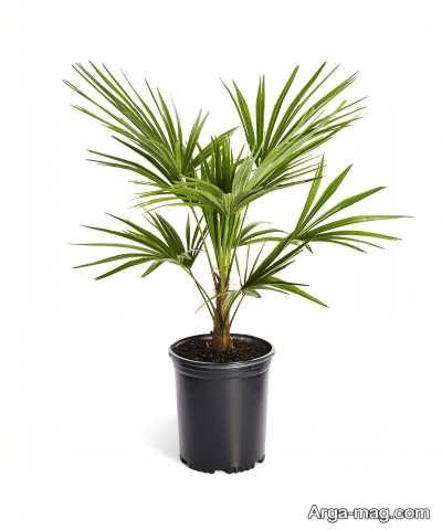 نحوه پرورش و نگهداری نخل ققنوس و از بین بردن آفات این گیاه