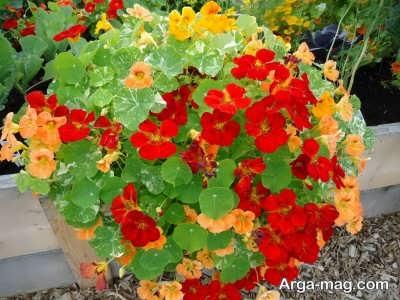 آشنایی با چگونگی کاشت گل لادن