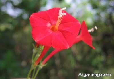 شرایط مورد نیاز برای نگهداری گیاه پیچک کاردینال