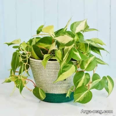 انواع مختلف گیاه پوتوس