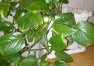 آشنایی با چگونگی نگهداری گل پوتوس