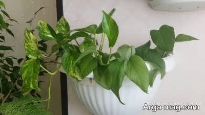 اصول مراقبت از گیاه پوتوس