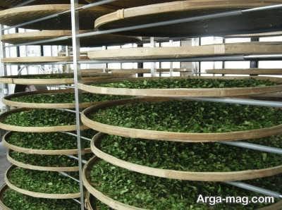 مراحل خشک کردن برگ های چای