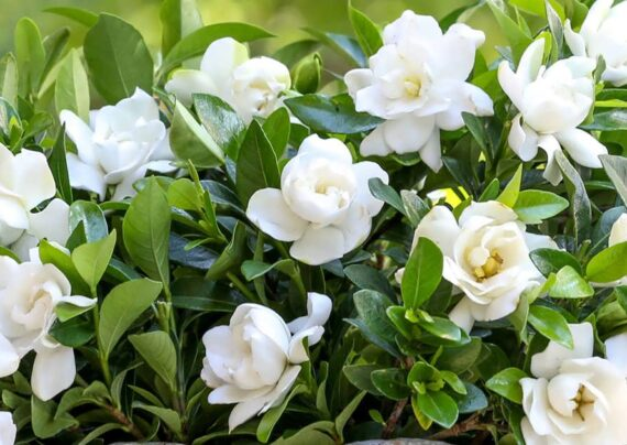 پرورش گل گاردنیا