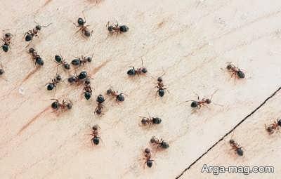 روغن مورچه و خاصیت های مختلف آن