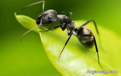 خواص مختلف روغن مورچه