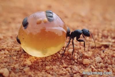 خاصیت های مختلف روغن مورچه
