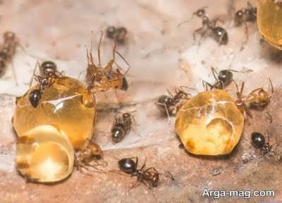 خاصیت های روغن مورچه
