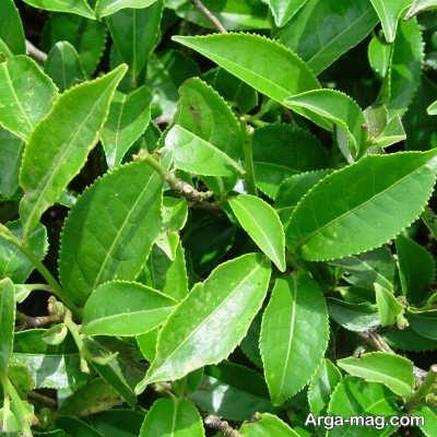چگونگی تکثیر گیاه عطر چای