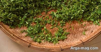 اصول کشت و پرورش گیاه چای