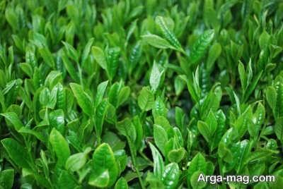 مراحل پرورش گیاه چای