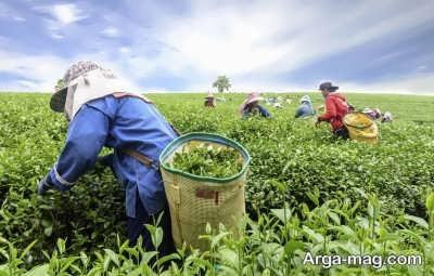 چگونگی کاشت چای