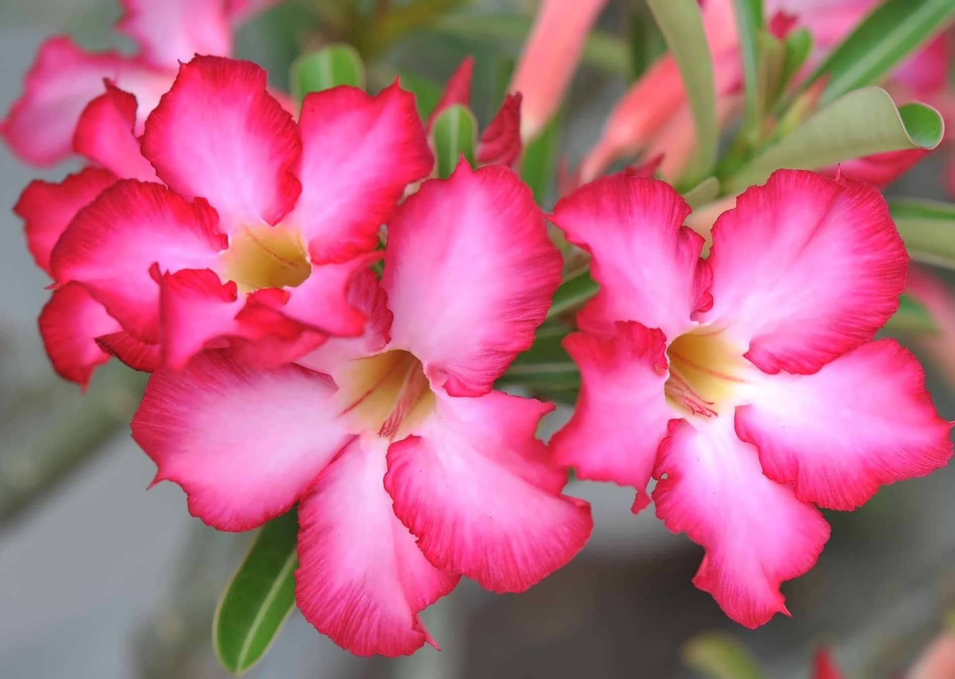 نگهداری از گل رز صحرایی