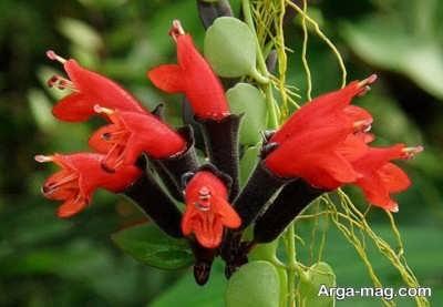 پرورش اسکینانتوس یا گیاه رژ لب