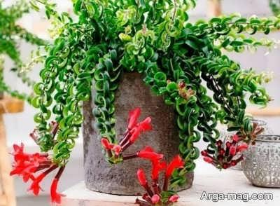 پرورش گیاه اسکینانتوس