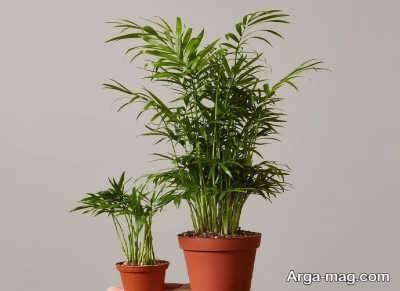 پرورش گیاه نخل گربه به سادگی