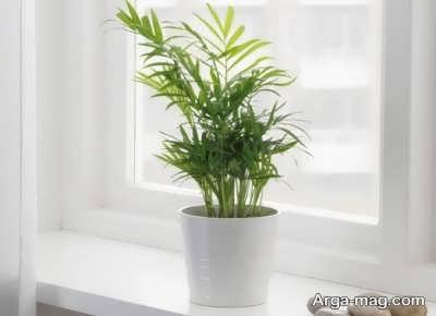 پروراندن گیاه نخل گربه