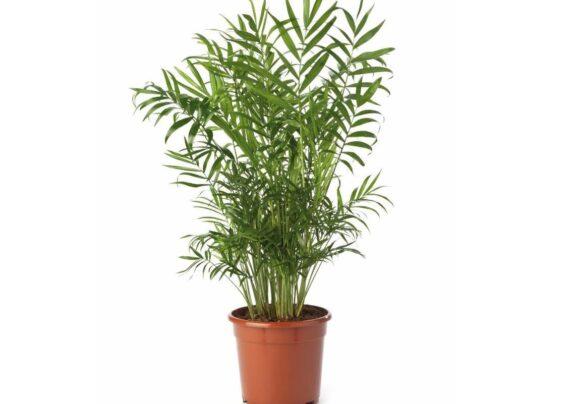 نحوه پرورش گیاه نخل گربه