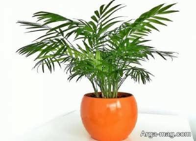 گیاه نخل گربه و پروراندن آن