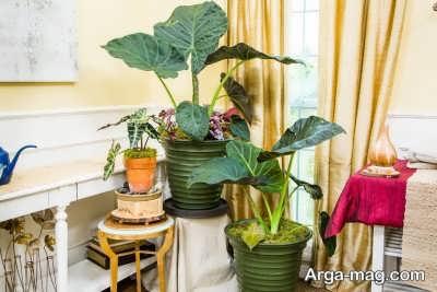 نگهداری گیاه گوش فیل و نکاتی که در پرورش و مراقبت از این گیاه باید رعایت کنید