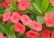 پرورش گل فرفیون