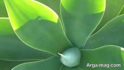 گیاه آگاو