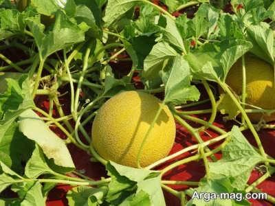 دستورالعمل برداشت میوه ملون