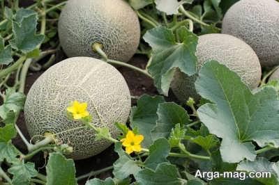چگونگی کاشت ملون در باغچه