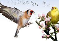 آواز خواندن پرندگان