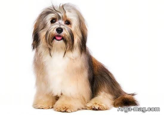 انواع بهترین و دوست داشتنی ترین سگ های آپارتمانی
