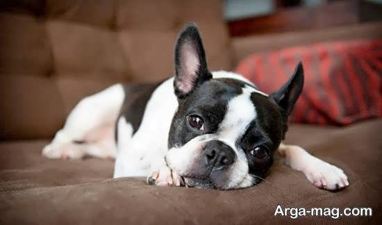 معذفی زیباترین سگ های آپارتمانی