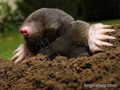 آشنایی با موش کور اروپایی