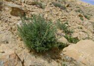 گیاه درمنه در چه خاک هایی رشد می کند؟