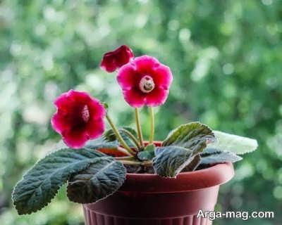 کشت و پروراندن گل گلوکسینیا