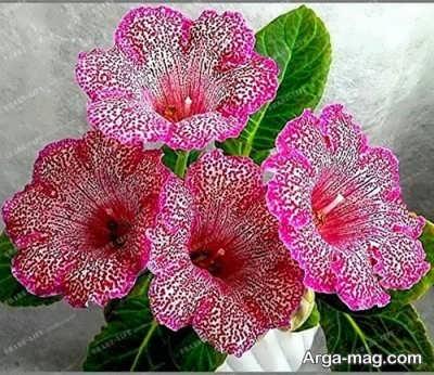 مراقبت صحیح از گل گلوکسینیا