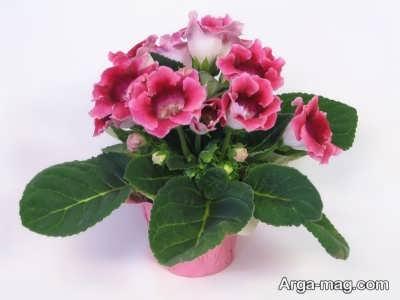 گل گلوکسینیا زیبا و جذاب