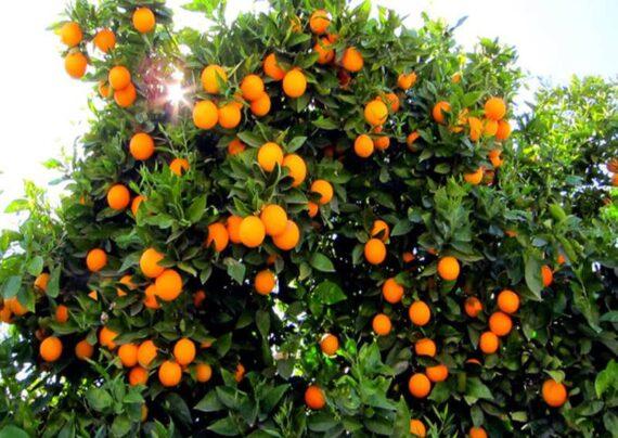 دیدن پرتقال در خواب نشانه عشق پاک است