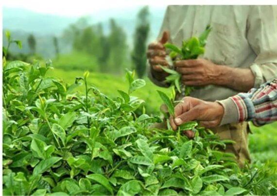 کاشت چای سبز