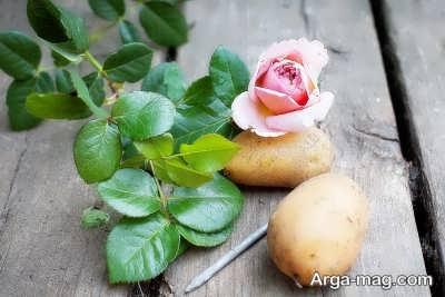 چگونگی تکثیر رز با سیب زمینی