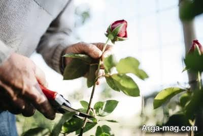 وسایل لازم برای تکثیر گل رز