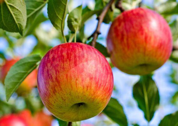آشنایی با نحوه دفع آفات درخت سیب