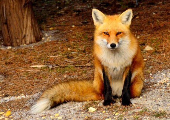 معرفی حیوان روباه