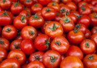 آشنایی با اصول دفع آفات گوجه فرنگی
