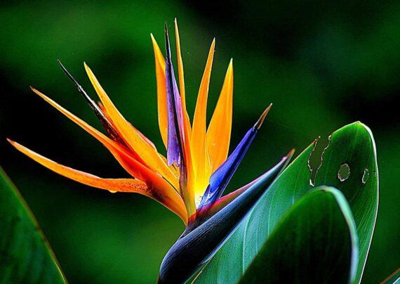 آشنایی با نحوه پرورش گل پرنده بهشتی