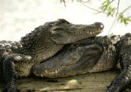 آشنایی با خصوصیات حیوان تمساح