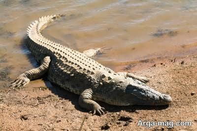 واقعیت های جالب در مورد حیوان تمساح